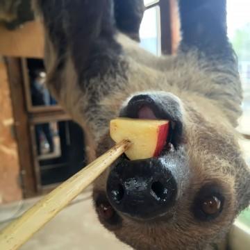 ナマケモノへリンゴの餌あげ